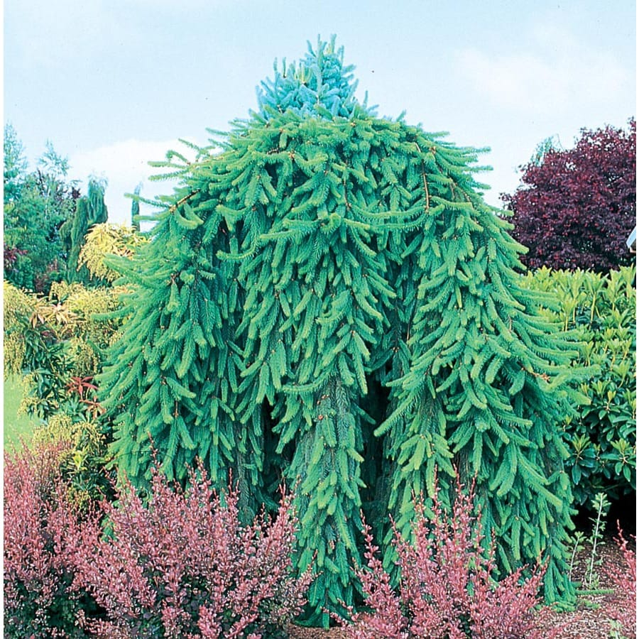 7.28-Gallon Weeping Norway Spruce Feature Shrub (L4097)
