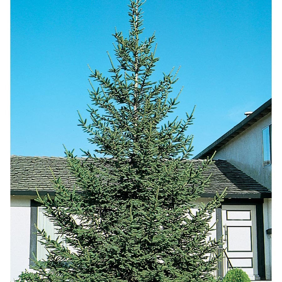7.28-Gallon Norway Spruce Feature Tree (L1244)
