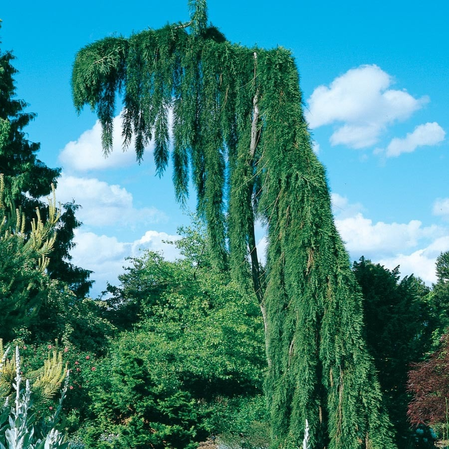 7.28-Gallon Weeping Giant Sequoia Feature Tree (L25833)