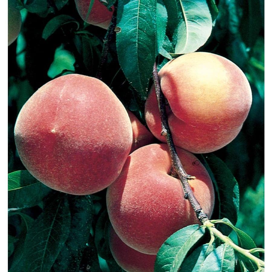 3.64-Gallon Early Elberta Peach Tree (L1331)