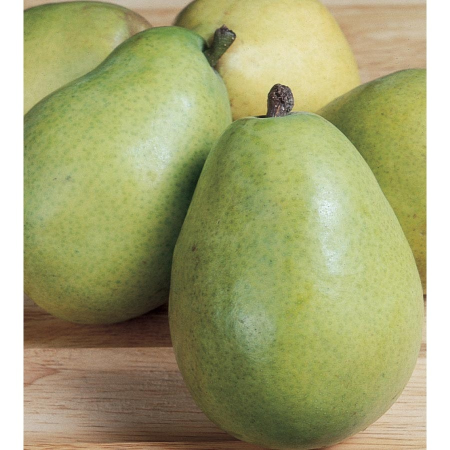 3.64-Gallon D'Anjou Pear Tree (L10496)