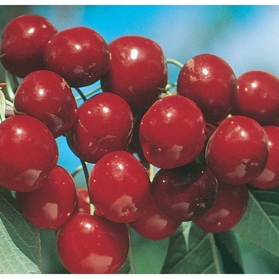 3.64-Gallon Bing Cherry Tree (L1393)