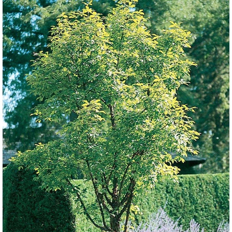 3.64-Gallon Paperbark Maple Shade Tree (L24025)