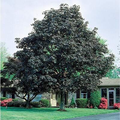 3 64 Gallon Crimson King Norway Maple Shade Tree In Pot With Soil