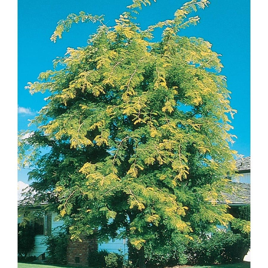 3.64-Gallon Sunburst Honeylocust Shade Tree (L1059)