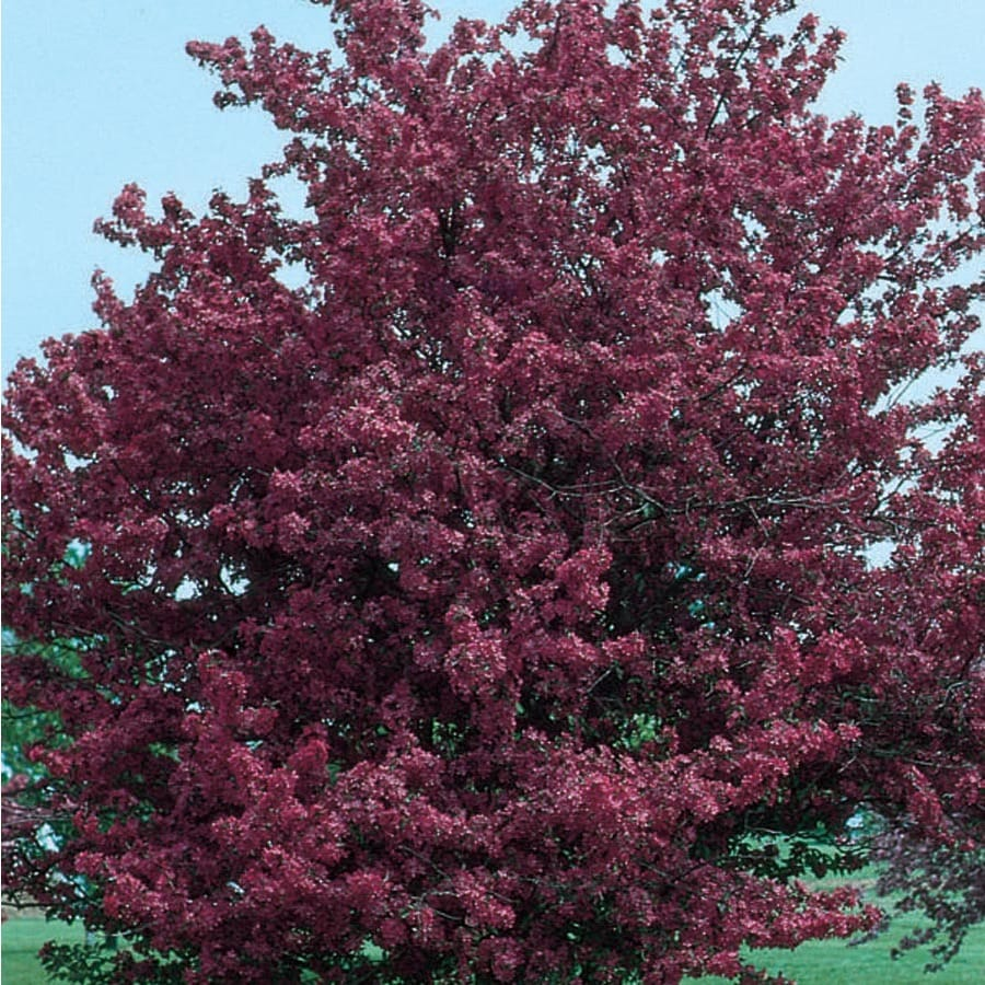 3.64-Gallon Adams Crabapple Flowering Tree (L1119)