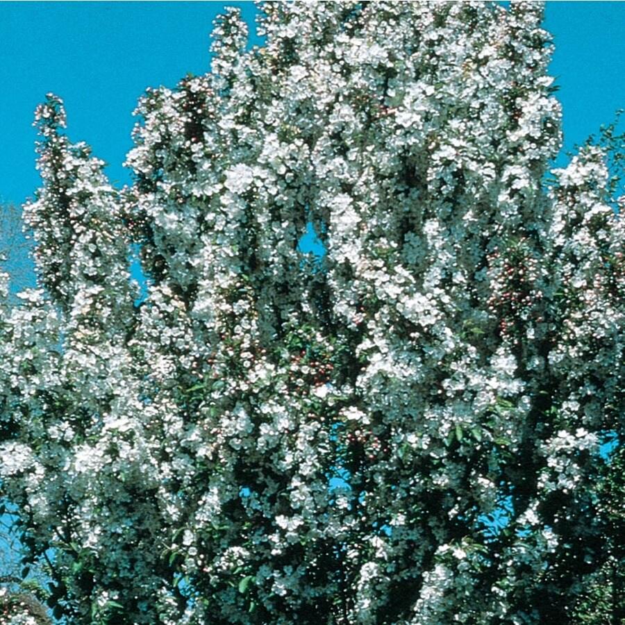 3.64-Gallon Adirondack Crabapple Flowering Tree (L27239)