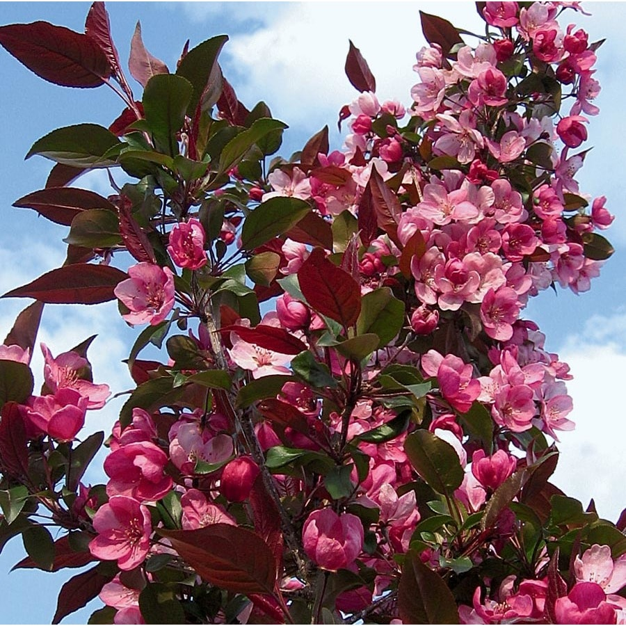 3.64-Gallon Cranberry Lace Crabapple Flowering Tree (L27243)