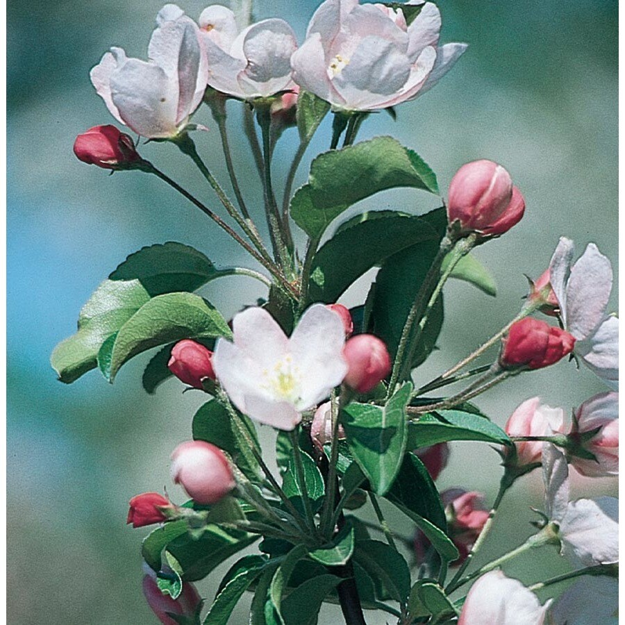 3.64-Gallon Leprechaun Crabapple Flowering Tree (L27245)
