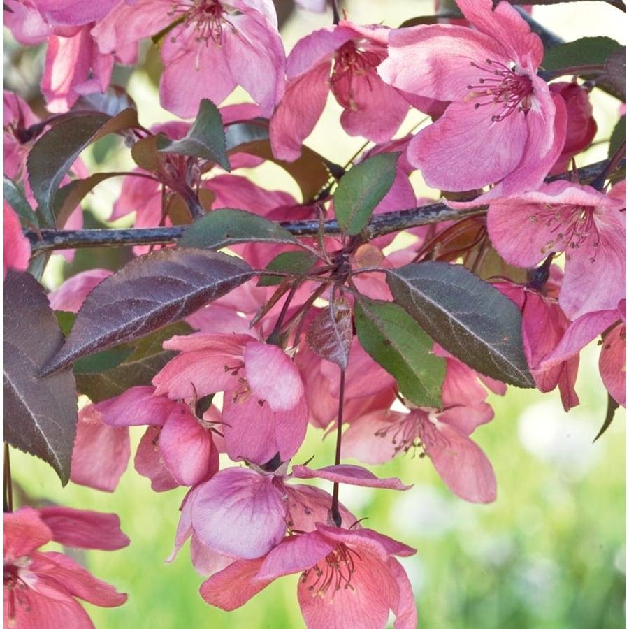 3.64-Gallon Perfect Purple Crabapple Flowering Tree (L23070)