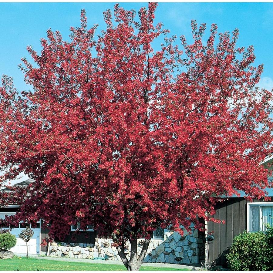3.64-Gallon Prairifire Crabapple Flowering Tree (L1125)