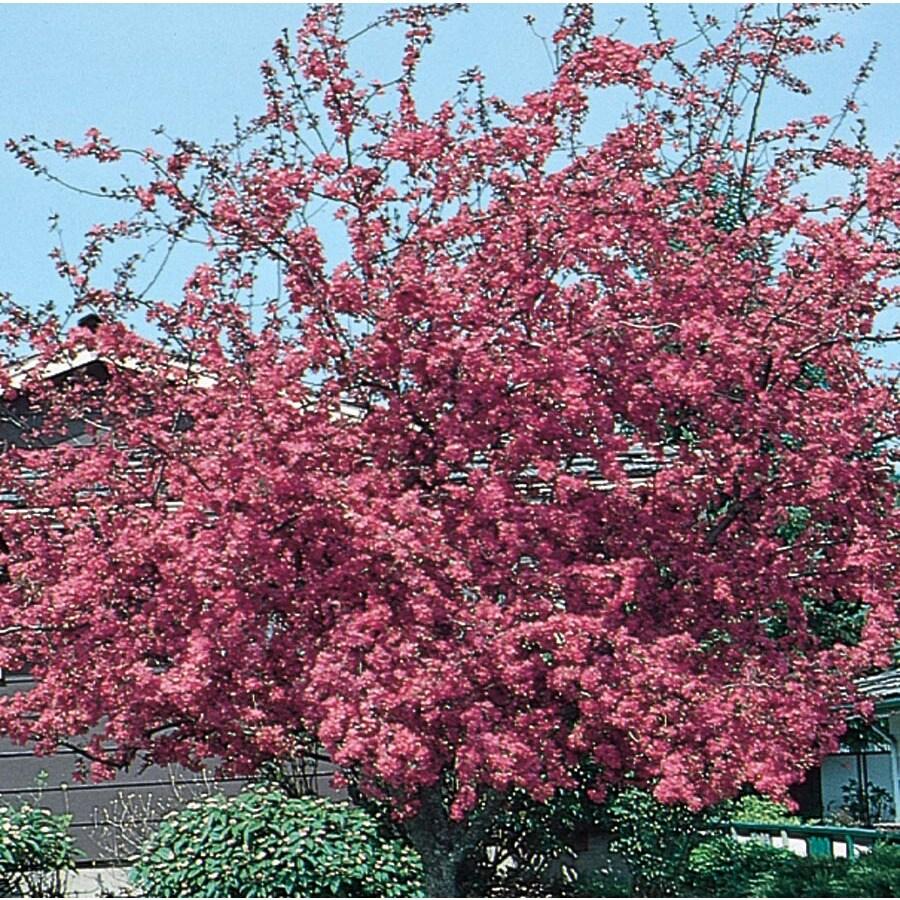 3.64-Gallon Profusion Crabapple Flowering Tree (L1376)
