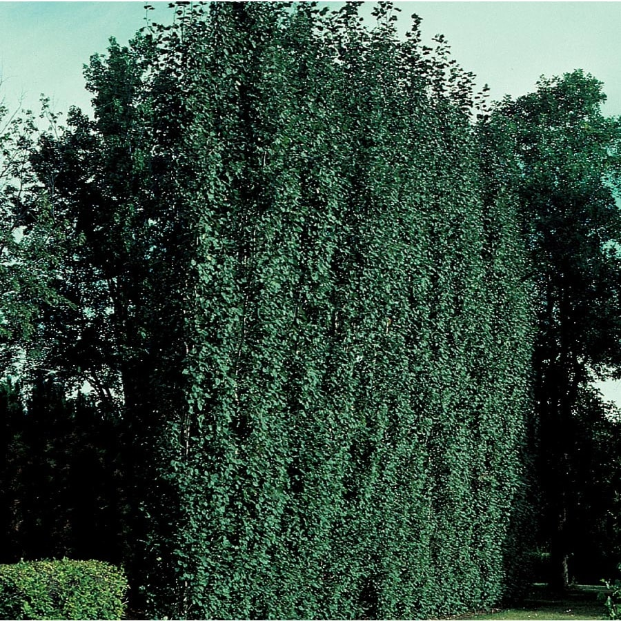 3.64-Gallon Swedish Aspen Feature Tree (L24759)