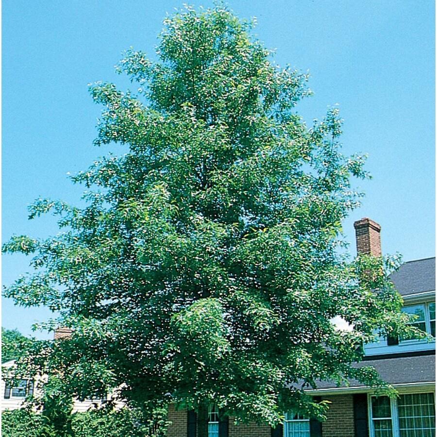 3.64-Gallon Pin Oak Shade Tree (L1097)