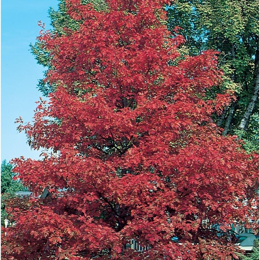 3.64-Gallon Red Oak Shade Tree (L7669)