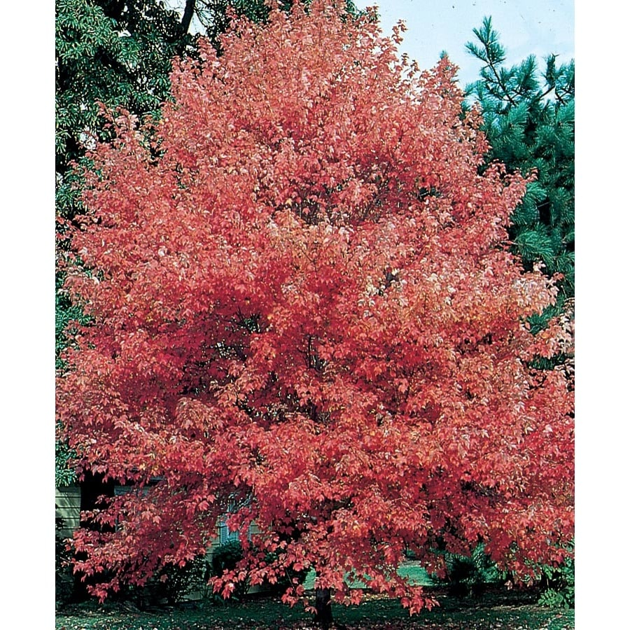 7.28-Gallon Autumn Fantasy Red Maple Shade Tree (L8500)
