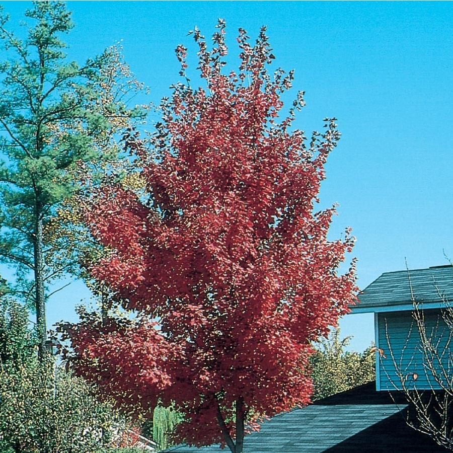 7.28-Gallon Firefall Maple Shade Tree (L27237)
