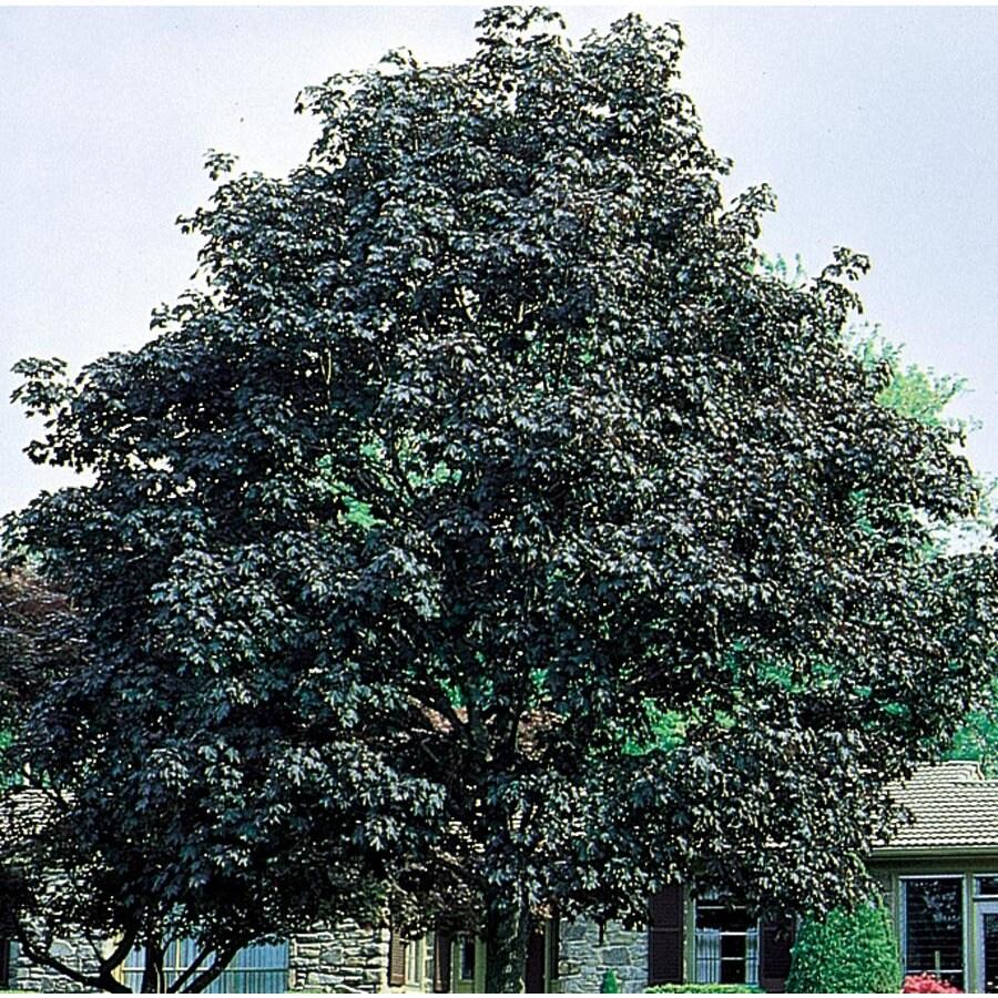 7.28-Gallon Crimson King Norway Maple Shade Tree (L3166)