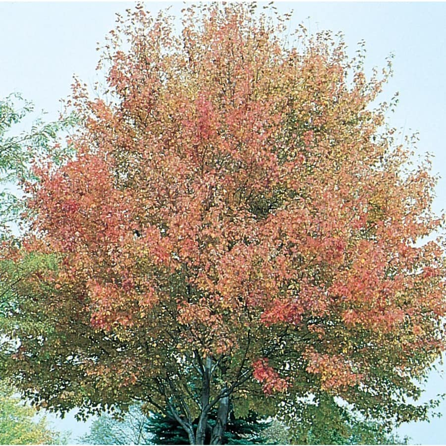 7.28-Gallon Northwood Red Maple Shade Tree (L4223)