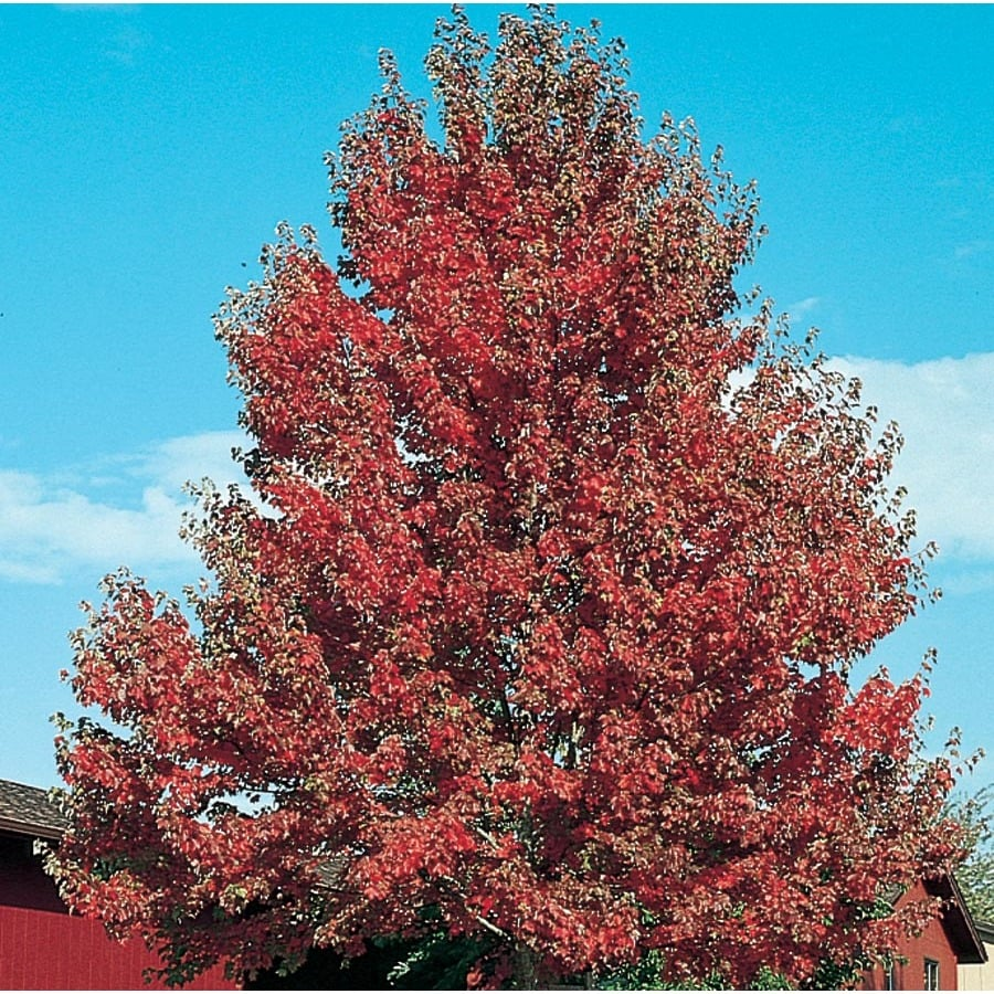 7.28-Gallon Somerset Red Maple Shade Tree (L21697)