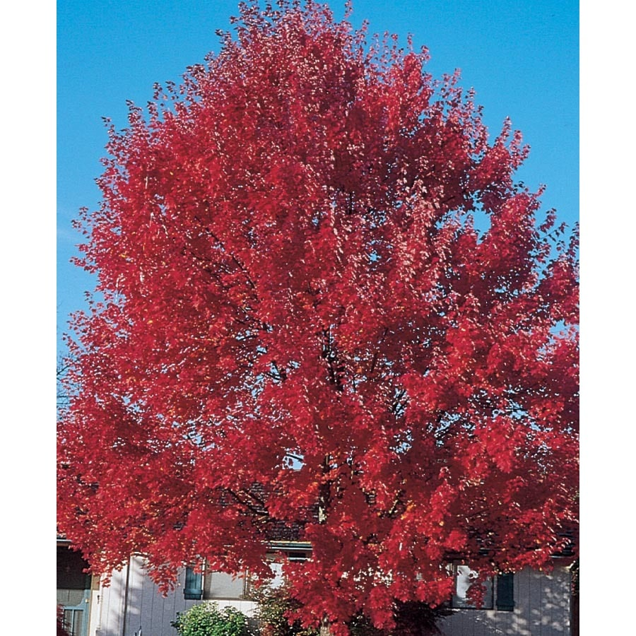 7.28-Gallon Sun Valley Red Maple Shade Tree (L2080)