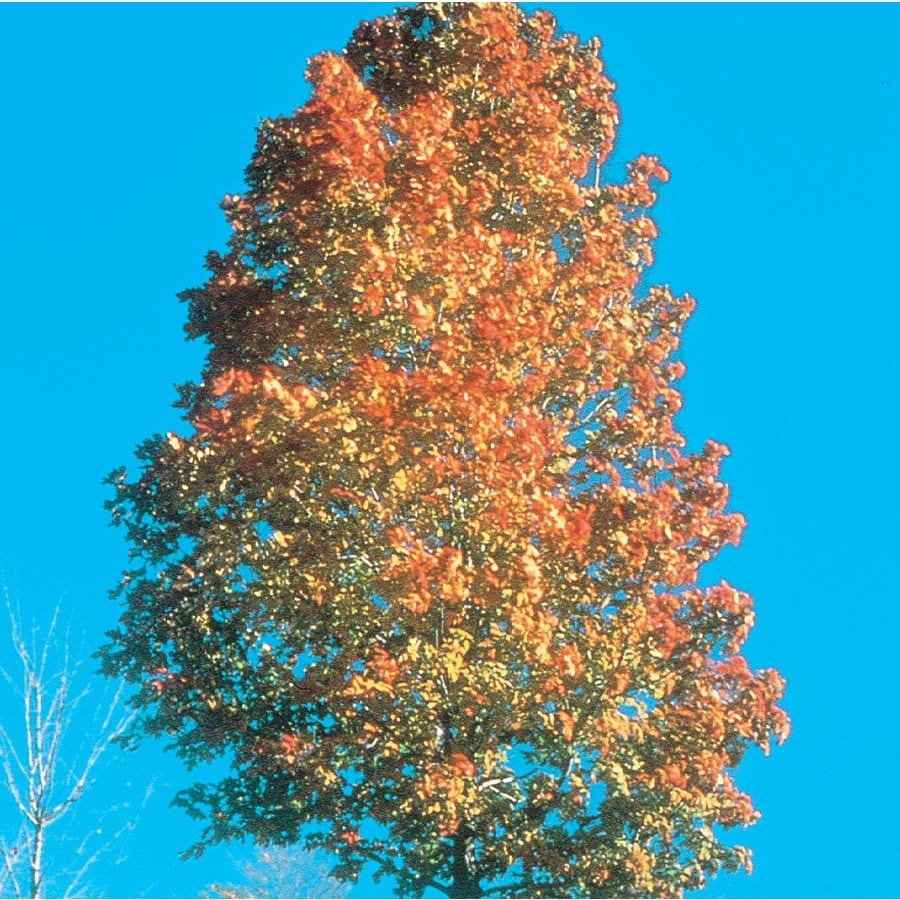 7.28-Gallon Commemoration Sugar Maple Shade Tree (L1112)