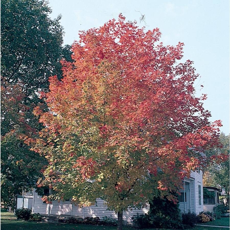 7.28-Gallon Fall Fiesta Sugar Maple Shade Tree (Lw02874)