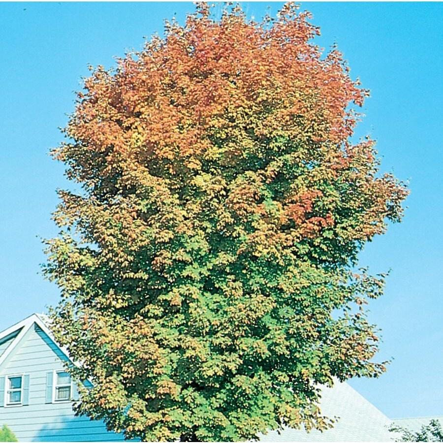 7.28-Gallon Legacy Sugar Maple Shade Tree (L3411)