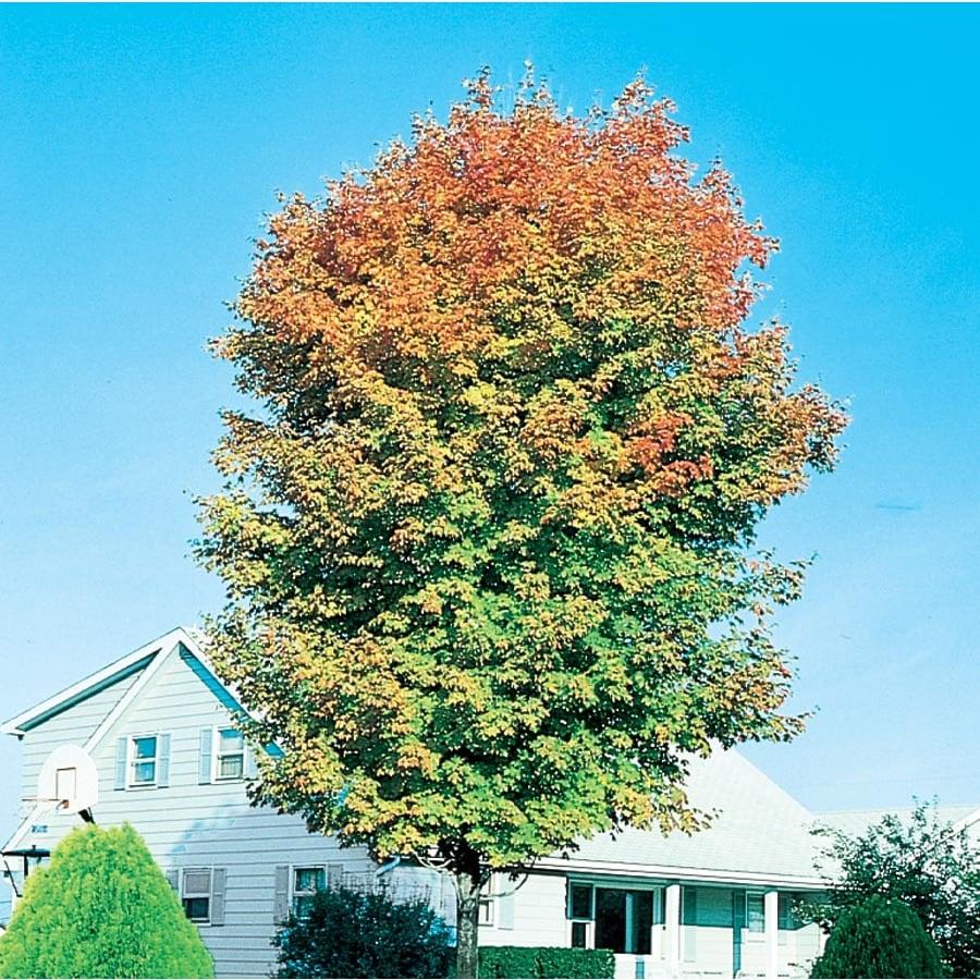 7.28-Gallon Majesty Sugar Maple Shade Tree (L9446)