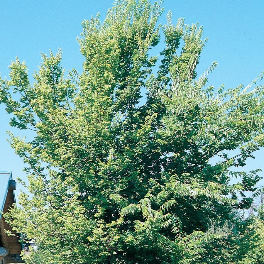 7.28-Gallon Common Hackberry Shade Tree (L12013)