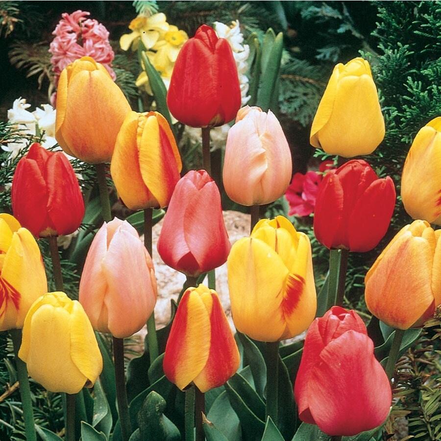 7.28-Gallon Tulip Bulbs