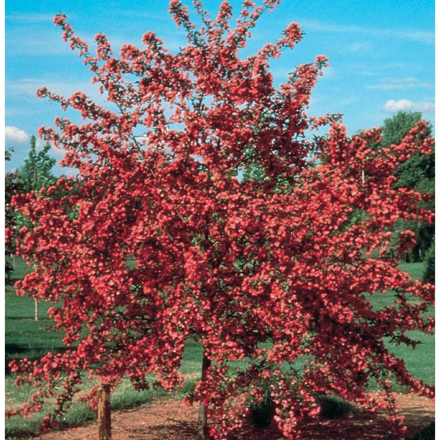 7.28-Gallon Cardinal Crabapple Flowering Tree (L6429)