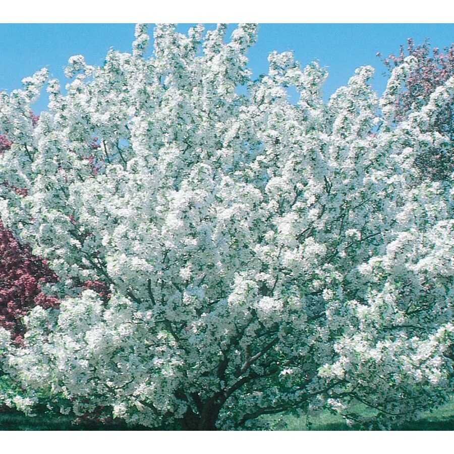 7.28-Gallon Donald Wyman Crabapple Flowering Tree (L7637)
