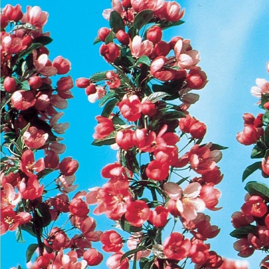 7.28-Gallon Indian Summer Crabapple Flowering Tree (L6132)
