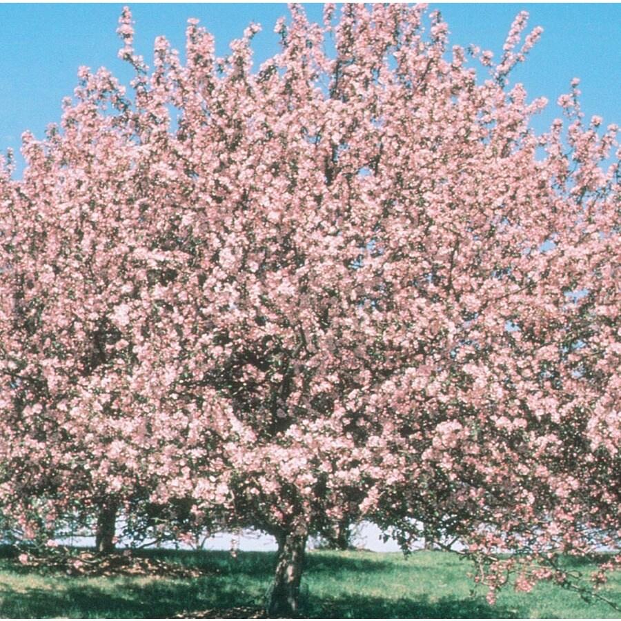 7.28-Gallon Selkirk Crabapple Flowering Tree (LW01565)