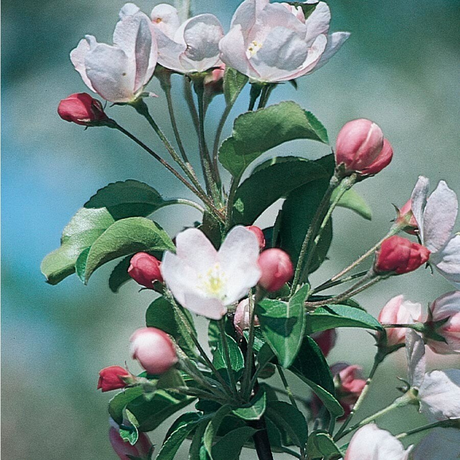 7.28-Gallon Leprechaun Crabapple Flowering Tree (L27245)