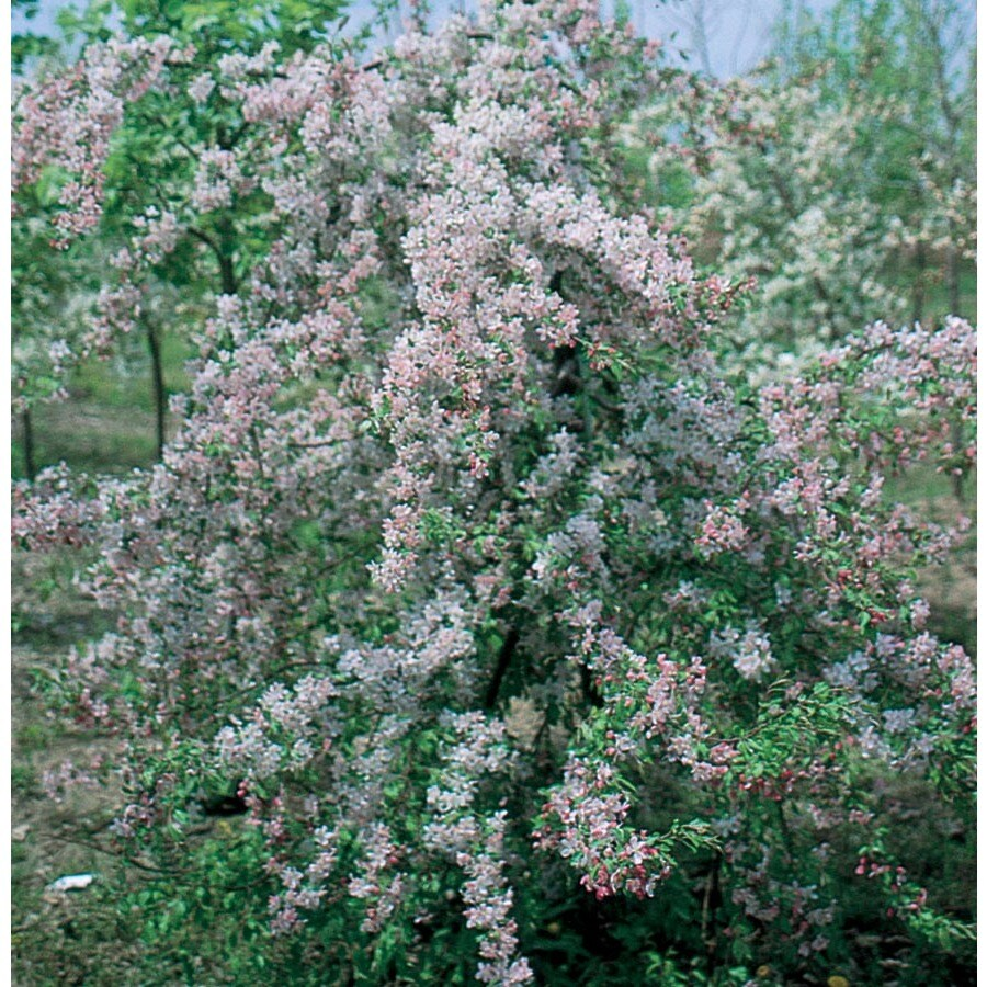 7.28-Gallon Louisa Crabapple Flowering Tree (L7639)