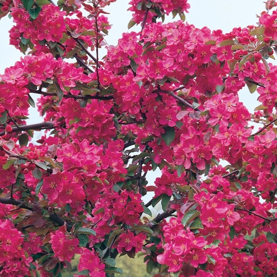 7.28-Gallon Orange Crush Crabapple Flowering Tree (L27247)