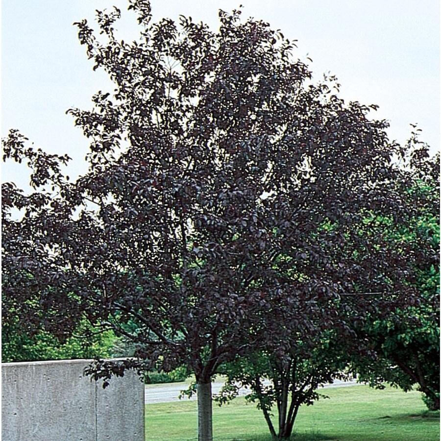 7.28-Gallon Royalty Crabapple Flowering Tree (L3586)