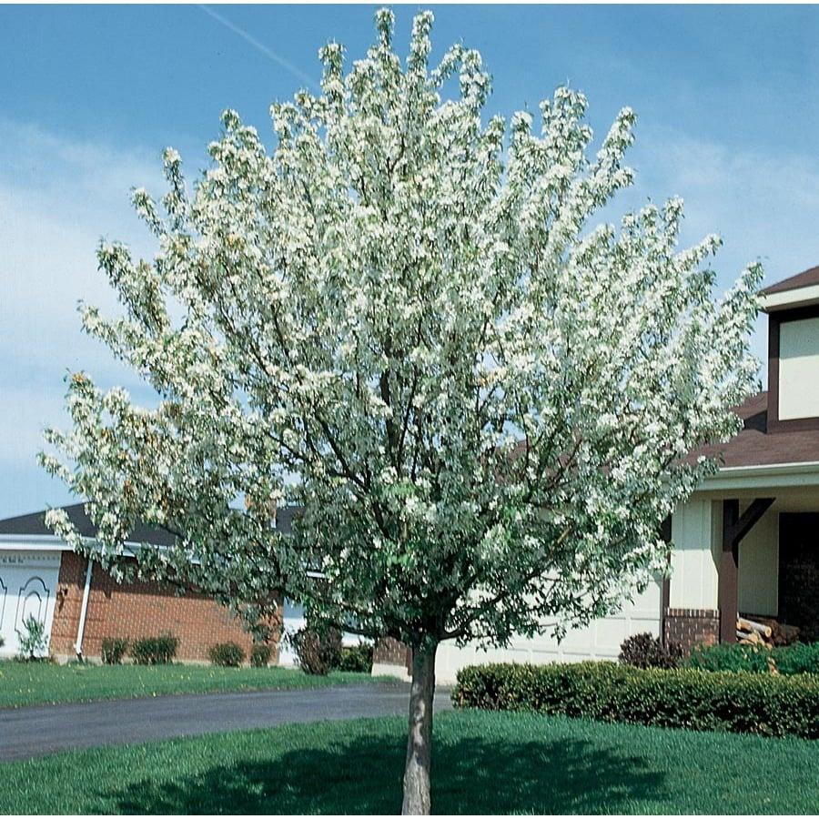 7.28-Gallon Snowdrift Crabapple Flowering Tree (L3205)