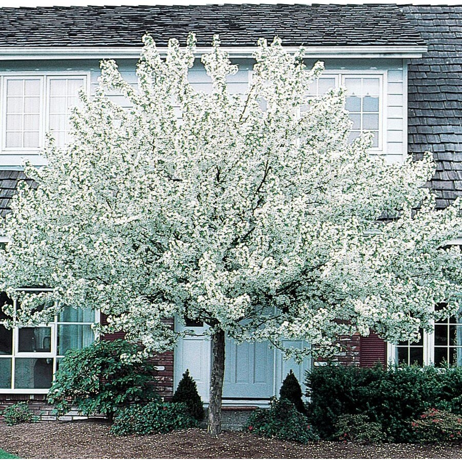 7.28-Gallon Spring Snow Crabapple Flowering Tree (L3593)