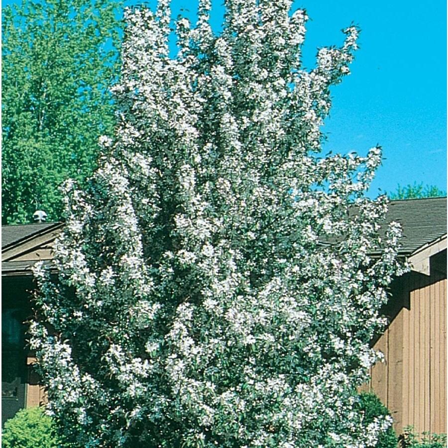 7.28-Gallon Sugar Tyme Crabapple Flowering Tree (L5195)