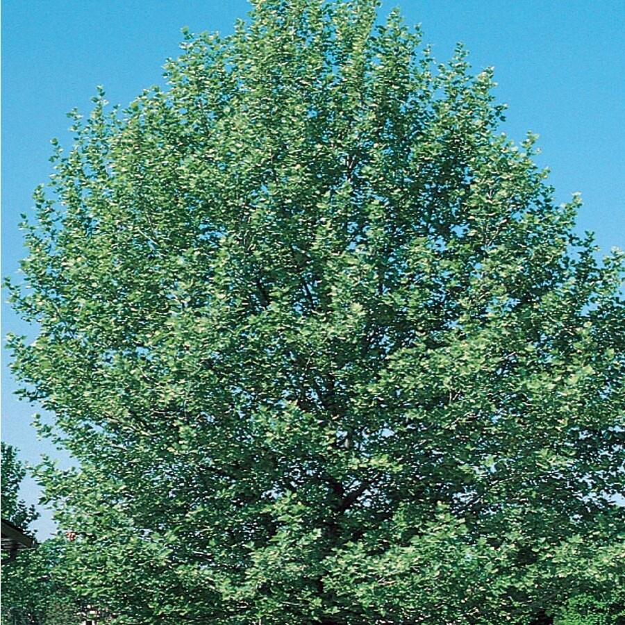 7.28-Gallon Bloodgood London Planetree Shade Tree (L6342)