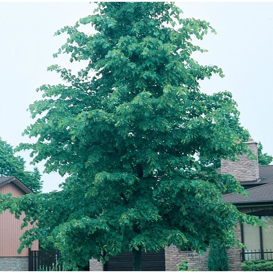 7.28-Gallon Glenleven Linden Shade Tree (L1098)