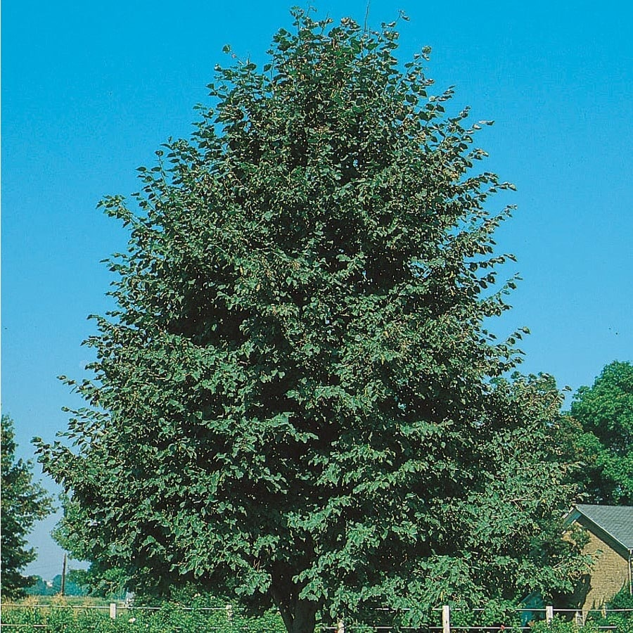 7.28-Gallon Greenspire Linden Shade Tree (L1072)