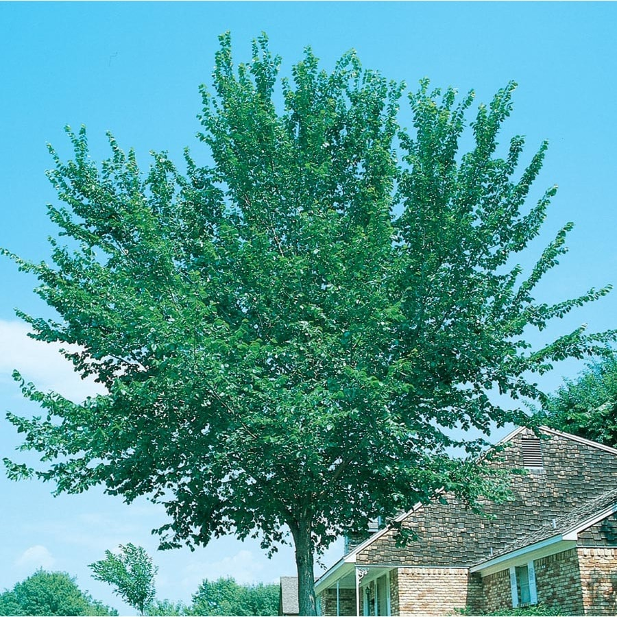 7.28-Gallon Accolade Elm Shade Tree (L14484)