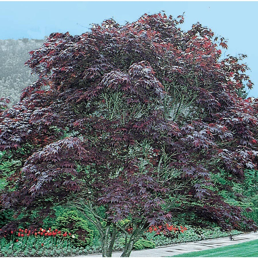 12.7-Gallon Bloodgood Japanese Maple Feature Tree (L1088)