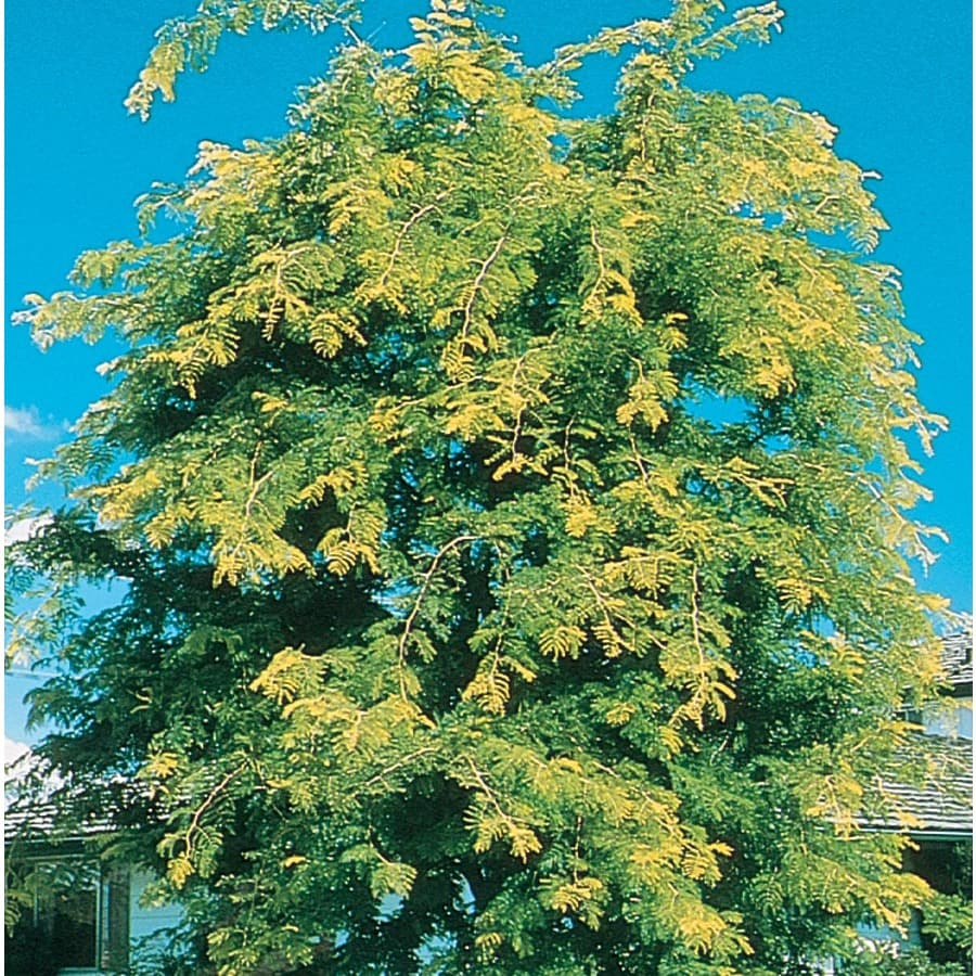 12.7-Gallon Sunburst Honeylocust Shade Tree (L1059)