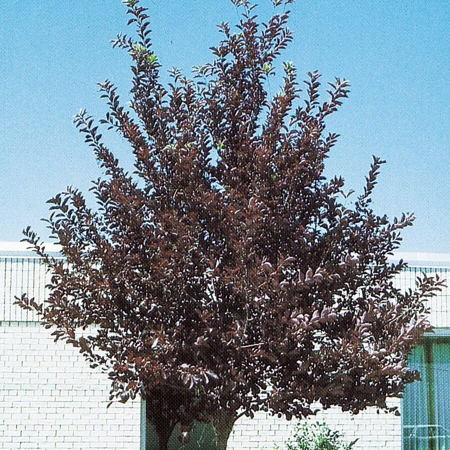 12.7-Gallon Canada Red Flowering Cherry Feature Tree (L7213)