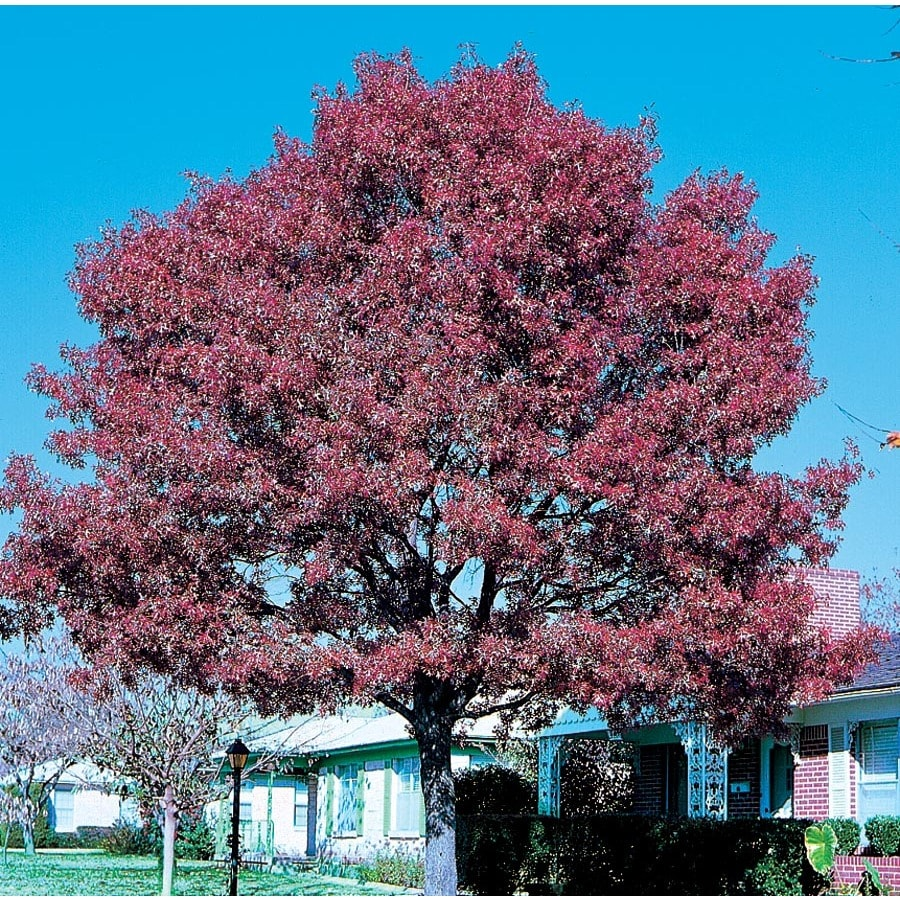 12.7-Gallon Shumard Oak Shade Tree (L1085)